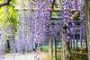 DSC_1643 (sayo-tsu) Tags: 藤 wisteria 牛島のフジ 春日部市 埼玉県 kasukabe saitama 特別天然記念物
