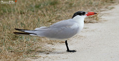 A tern in the road (Shannon Rose O'Shea) Tags: shannonroseoshea shannonosheawildlifephotography shannonoshea shannon tern bird beak feathers birdyfeet ritchgrissommemorialwetlandsatviera melbourne florida flickr wwwflickrcomphotosshannonroseoshea nature wildlife waterfowl redbeak skinnylegs outdoors outdoor road canon canoneos80d canon80d eos80d 80d canon100400mm14556lisiiusm fauna caspiantern