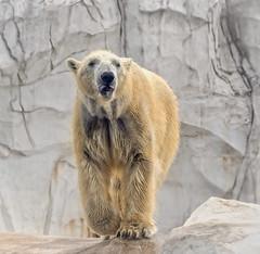 Polar Bear (markie623) Tags: bear polar polarbear animal nature