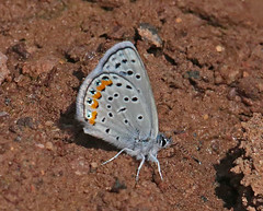 CAD0009060a (jerryoldenettel) Tags: 170411 2017 acmonblue blackcanyon lycaenidae nm plebejus plebejusacmon polyommatini socorroco blue butterfly insect