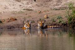 Tiger (Panthera tigris) (Vidjit Vijaysanker) Tags: greatnature tiger wildlifephotography wildlife canon canon500mm canon500mmf4l canon6d karnataka karapura kabini