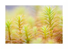 Acidulé I (francine koeller) Tags: sphaigne mousse moss sphagnummoss acid acidulé couleur color pastel tourbière peatland