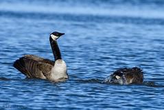 Canada Geese pair. (Estrada77) Tags: canada goose nikon 200500mm wildlife winter water 2017 birds outdoors fox river
