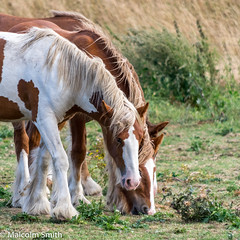 A Quick Look At Me (M C Smith) Tags: horses field eating weeds green brown white