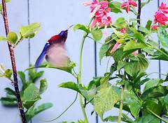 Mrs Gould's sunbird at Sikkim (nbu2014.birds) Tags: mrs goulds sunbird aethopyga gouldiae nbu birds