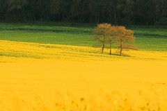 Mellow Yellow (acwills2014) Tags: fields rapeseed yellow gold trees isolation minimalistic countryside rural landscape