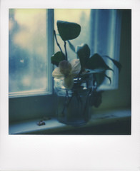 Hellebore on the kitchen window sill (Juliana Longiotti) Tags: makerealphotos polaroid sx70 film colorfilm impossibleproject hellebore flowers window jar color nopeople