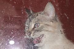 IMG_1305_1 (Pablo Alvarez Corredera) Tags: mundo rural mascota gato gata gatita dormi furiosa asesina colmillos