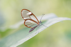 Clearwing butterfly (fabriciodo) Tags: clearwingbutterfly glasswingbutterfly butterfly papillon mariposa macro nature