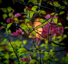 Early Light. (Omygodtom) Tags: outdoors dogwood flickr flower abstract existinglight am usgs tamron90mm tamron natural nature nikon dof d7100 nikkor digital green leaves red