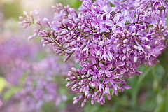 friday's flower power (Sabinche) Tags: lilac spring