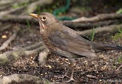 Female Blackbird. (ronalddavey80) Tags: female blackbird canon tamron eos70d