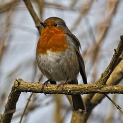Robin Redbreast (MrBlueSky*) Tags: robin robinredreast bird animal wildlife nature outdoor kewgardens royalbotanicgardens ngc london pentax pentaxart pentaxk1 pentaxawards pentaxflickraward aficionados pentaxlife