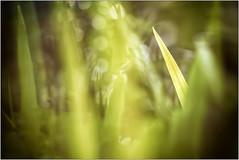 Peekaboo (h_cowell) Tags: garden blur bokeh green warm warmth nature grass plants sun sunshine panasonic gx7 appicoftheweek hss