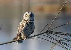Short-eared Owl (CaddyBay) Tags: shortearedowl april212017 whidbeyisland washingtonstate
