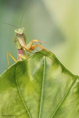 Rhombodera basalis (male) (antonello.fardella) Tags: rhomboderabasalis mantis mantide macro macrophoto insetti insect canon nature natura wild