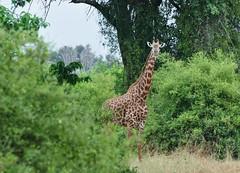 Giraffa camelopardalis tippelskirchi - Giraffe - Girafe des Masaï -  20/02/10 (Philippe_Boissel) Tags: giraffacamelopardalistippelskirchi giraffatippelskirchi giraffidae artiodactyla mammalia giraffe girafedesmasaï girafe mammals mammifère afrique kenya tsavo tsavoest 0219g