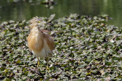 Papa-ratos, Squacco heron (Ardeola ralloides) (Vasco VALADARES) Tags: paparatos squaccoheron ardeolaralloides bird birds animal animals wildlife nature feather feathers wing wings naturephotography aves ave canon