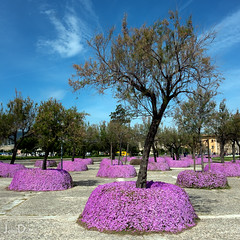 pretty in pink | palma de mallorca (John FotoHouse) Tags: palmademallorca dolan flickr fujifilmx100s fuji johnfotohouse johndolan leedsflickrgroup copyrightjdolan color colour trees 2017 square squareformat