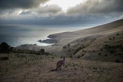 A very Australian Sunset (liquid fart) Tags: leica m9 35mm summicron blowhole beach south australia kangaroo