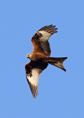 Red Kite (Treflyn) Tags: red kite raptor bird prey soar earley reading berkshire uk