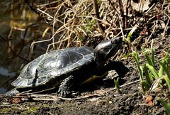 sunbathing.turtle I (C.Kalk DigitaLPhotoS) Tags: schildkröte turtle animal tier fauna gnathostomata reptil reptilis reptile plantenunblomen hamburg germany sonnig sunny outdoor