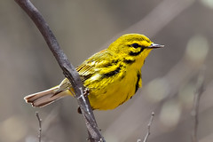 Prairie Warbler (Bill7870) Tags: bearswamp bird canon canon400mmf4do canon7dmk2 geotagged nature newjersey nj prairiewarbler