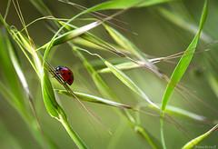 exploration... (bonacherajf) Tags: macro corse corsica insecte coccinelle