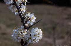Prunus spinosa (Thanks for +220.000 views) Tags: prunus spinosa aranyoner endrino blackthorn flor flower plant espès ribagorça ribagorza
