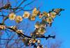 Winter Plum Blossoms (aeschylus18917) Tags: danielruyle aeschylus18917 danruyle druyle ダニエルルール japan 日本 flower 花 105mm plum blossoms prunusmume winter prune tree flowers ウメ roseaceae pxt