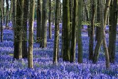 Bluebell Carpet (paulinuk99999 (really busy at present)) Tags: paulinuk99999 ashridge estate national trust hertfordshire dockey wood bluebells spring 2017 april flora sal70400g explore