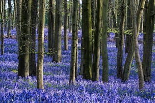 Bluebell Carpet
