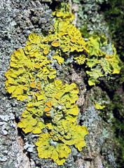 Ксанторія настінна (Xanthoria parietina) (Gansucha) Tags: xanthoria lichenes teloschistaceae lecanoromycetes ascomycota