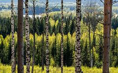 SPRINGTIME                           (DSC04422.jpg) (KhaladPhotography) Tags: spring sweden trees birches landsape countryside dalarna korsheden
