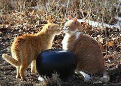 """Leo! Do I smell Leprechaun on your breath?"" (Judecat (coming out of hibernation)) Tags: cat felines friends redtabbies potofgold leo floydd"