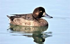 Female Greater Scaup (linda long) Tags: birds avian ducks waterfowl scaup greaterscaup hen waterbirds nature wildlife divingduck