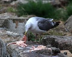 OPORTO (toyaguerrero) Tags: portugal porto eu europa douro riverduero río maríavictoriaguerrerocatalán toyaguerrero seagull gaviota scavenger carroñero