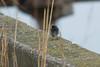 Codirosso Spazzacamino. Black Redstart. (Phoenicurus ochuros) (omar.flumignan) Tags: codirossospazzacamino blackredstart phoenicurusochuros volatile passeriforme uccello bird canon eos 7d ef100400f4556lisusm allnaturesparadise ngc