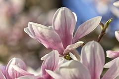 Danse autour du magnolia 8/22 (Emmanuel Cattier -) Tags: magnolia fleur plante tree fleursetplantes flower flowering arbre arbreenfleur france strasbourg alsace grandest floraison lumière printemps cattier emmanuelcattier manusoft