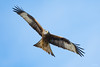 Red kite (Shane Jones) Tags: redkite kite raptor bird birdinflight birdofprey nature wildlife nikon d500 200400vr tc14eii