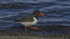 Oystercatcher / Tjaldur (ingolfssonvalur) Tags: tjaldur haematopus ostralegus oystrcatcher bird birds wildlife iceland þingvallavatn