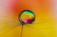 Colourful bling      Explored 02-04-2017 (Anne Rusten) Tags: annerusten artistic art abstract droplet drop dandelionseed dof dandelion dandelionart delicate