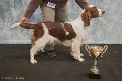 Best Puppy in Show & Puppy Bitch and Mary Payne Memorial Stakes - Pamicks Field of Dreams. (evinrisca) Tags: welshspringerspaniel wales chepstow championship dogshow welshie spaniel champshow