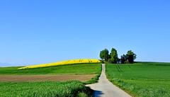 A travers champs (Diegojack) Tags: penthaz vaud suisse paysages campagnes verdure colza cultures