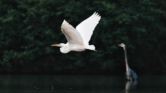Great Egret Flyby (mvos18) Tags: bokeh wings beak sigma nature western bill egret blue great flight canon birds canon7dmkii heron bigmos pa wildlife pennsylvania flyby white
