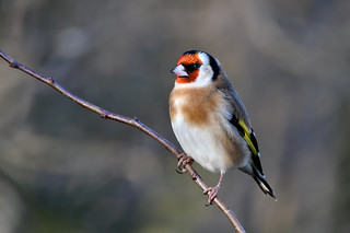Goldfinch.....