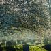 Blossom+over+the+Gravestones