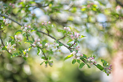 Apple Blossom times (jayneboo) Tags: 365 apple blossom tree promise garden foliage leaves bokeh spring home