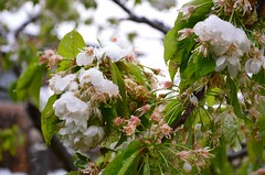 Jatkuu ... (anuwintschalek) Tags: nikond7000 d7k 18140vr austria niederösterreich wienerneustadt kodu home kevad april frühling spring lumi snow schnee lörts schneeregen kirsiõied kirschblüte cherryblossom