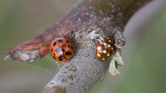 pique? :) (tarjangz) Tags: coccinella insect ladybug red black dot white brown auto mamiyasekor 55mm f14